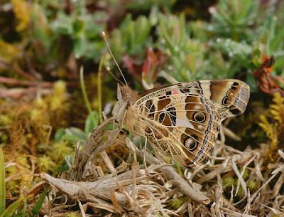 Mariposa dama pintada (Vanessa braziliensis)