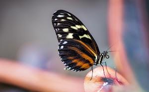 Kupu-kupu (Perjuangan)