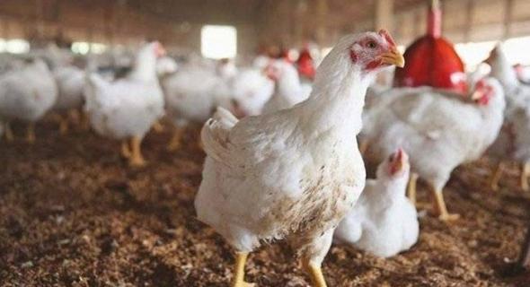 أكادير... تنديد تجار بائعي الدجاج بسوق الأحد و هذا هو السبب...