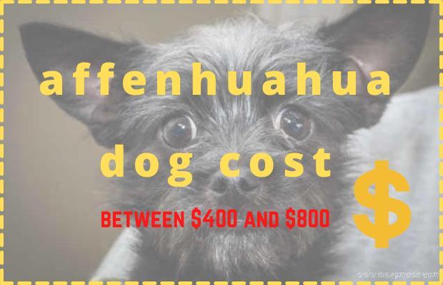 affenhuahua dog cost