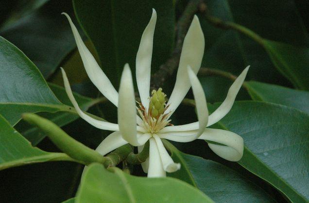 Ciri ciri bunga cempaka