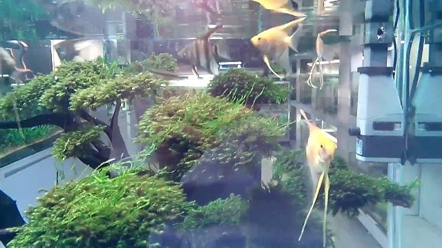 Pembesaran Ikan Manfish di Kolam