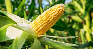 Изнасилование транссексуала в кукурузе