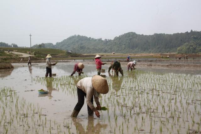 Đồng bào xã Măng Bút phát huy thế mạnh sản xuất lúa nước