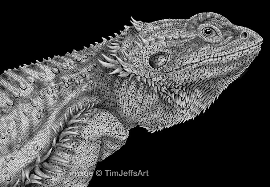 18-Bearded-Dragon-Tim-Jeffs-All-Creatures-Great-and-Small-Ink-Drawings-www-designstack-co