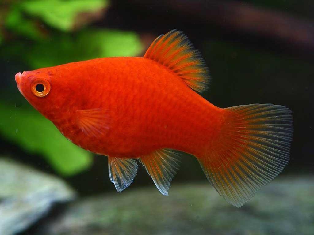Satılık Plati Akvaryum balığı