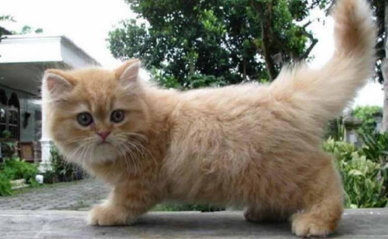 Cara Merawat Kucing Persia Umur 2 Bulan Tanpa Induk