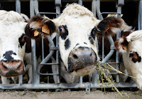 Normandy cows feed on alfalfa before milking at a farm in Courcite, northwestern France. Feeding cows alfalfa could reduce how much they burp. So could feeding them oregano, which has belch-squelching essential oils. (Credit: Jean-Francois Monier/AFP/Getty Images) Click to Enlarge.