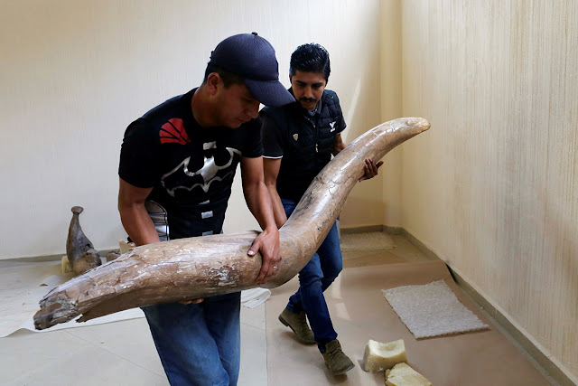 14,000-year-old mammoth found in Mexico carefully preserved