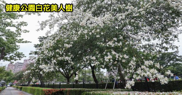 《台中.南區》健康公園|難得一見的白花美人樹|白色美人花盛開