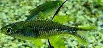 Celebes Rainbowfish Size, Breeding, Care, Lifespan, Water Parameters, Tankmates