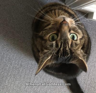 tabby cat gazing up