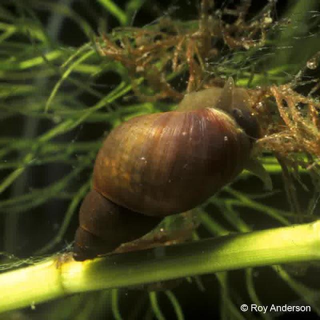 Lymnaea (Stagnicola) fuscus