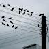 Antara Sebab Kenapa Burung Suka Bertenggek Atas Kabel Elektrik