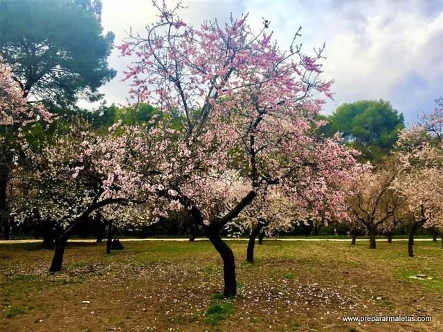 floración almendros en Quinta Molinos Madrid