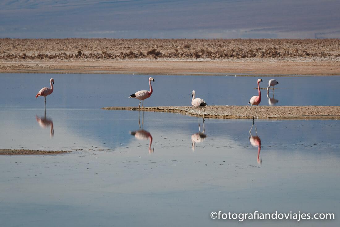 Flamencos en el Salar de Atacama en el desierto de Atacama Chile