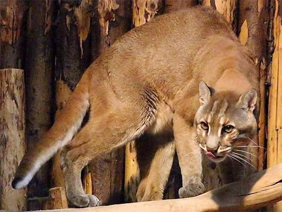 kucing paling besar di dunia