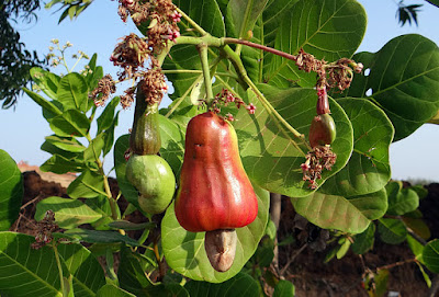 what-are-the-benefits-of-eating-cashews