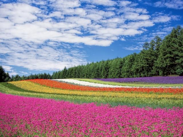 Padang bunga Hokkaido