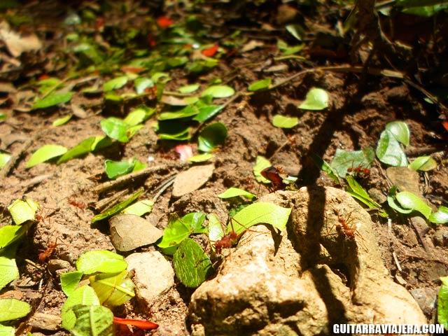 Hormigas cortahojas en Meretari