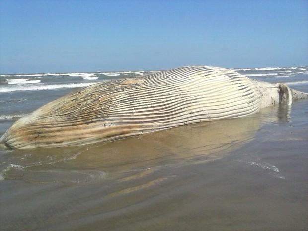 Baleia com cerca de 30 toneladas é encontrada morta na praia