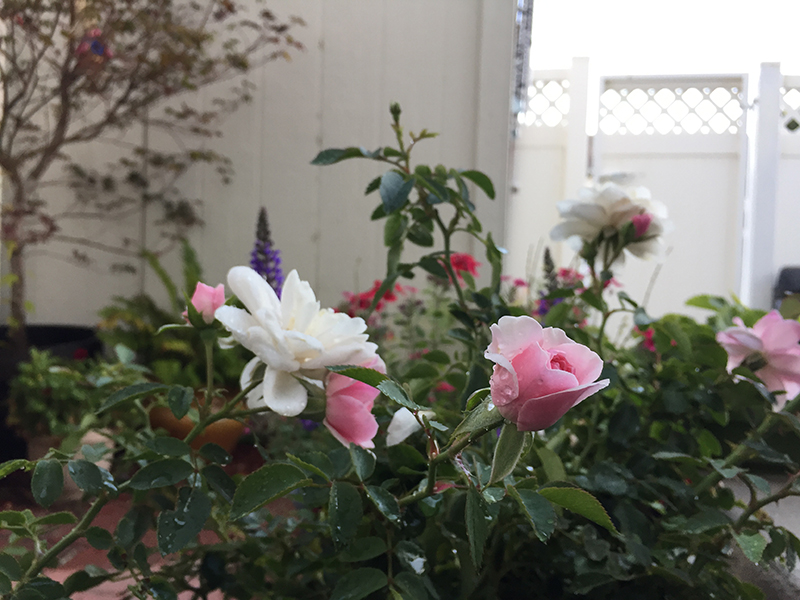 How To Grow Roses In Containers The Joy Blog