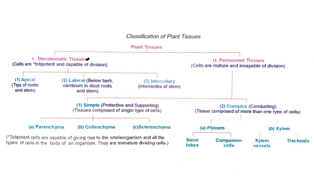 what are the two main types of plant tissues