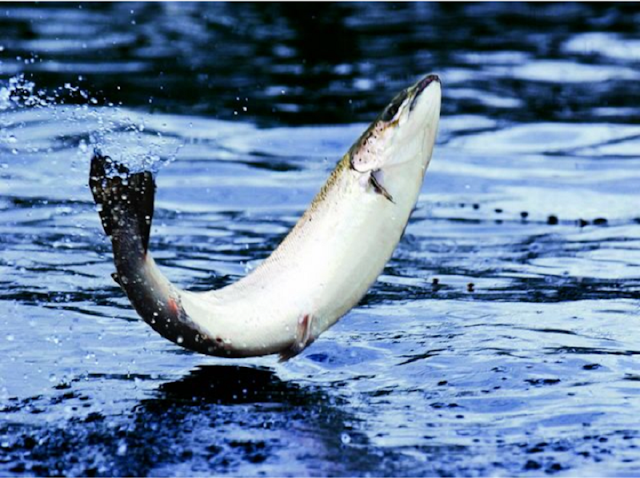Cá ngừ và cá hồi