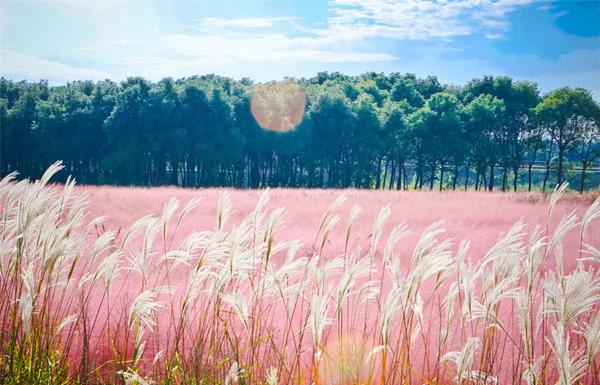 Đến với Đà Lạt hãy ngắm đồi cỏ hồng đuôi chồn đẹp tựa xứ Nhật Bản đẹp mê hồn 1