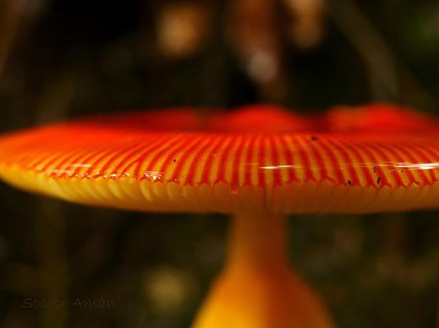 Amanita caesareoides