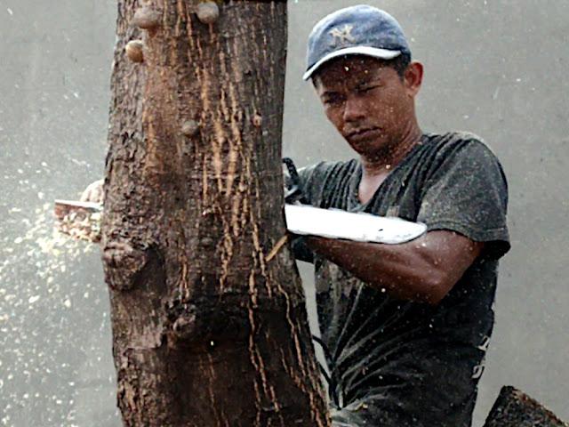 Tips cara menebang pohon