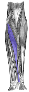 flexor carpi radialis-  by  www.learningwayeasy.com
