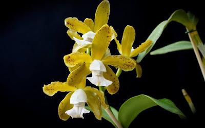Orquídea Cattleya leopoldii albescens