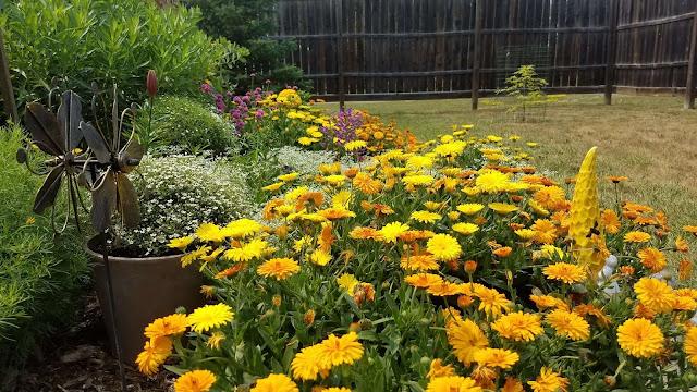Photo of blooming calendulas