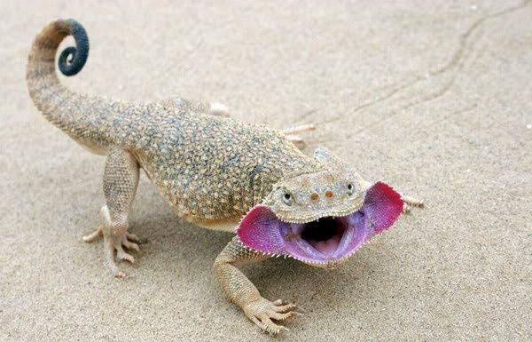 agama lizard florida| angama lizard facts|