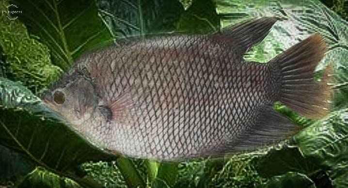 Segudang Manfaat Daun Talas Sente Untuk Ikan Gurame Peternak Muda