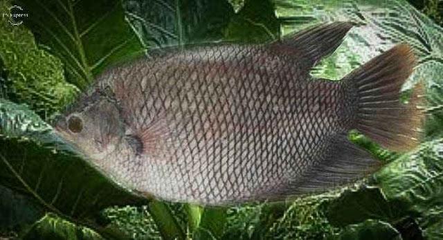 Pakan Ikan Gurame