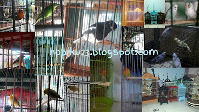 Penyebab burung ngedrop di lapqngan dan cara penanganannya