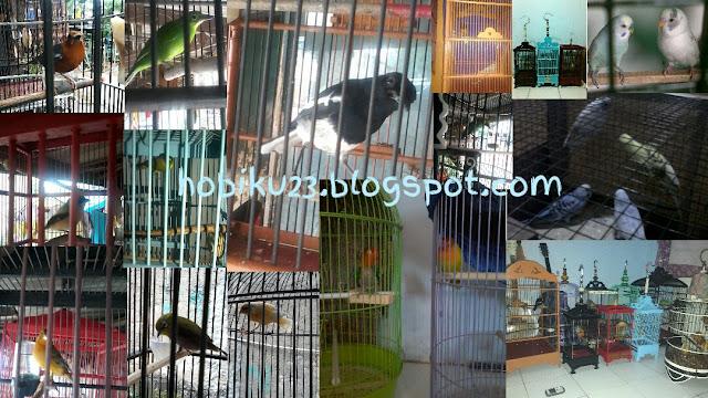 Penyebab burung ngedrop di lapqngan dan cara penanganannya Penyebab Burung Ngedrop di Lapangan dan Penanganannya
