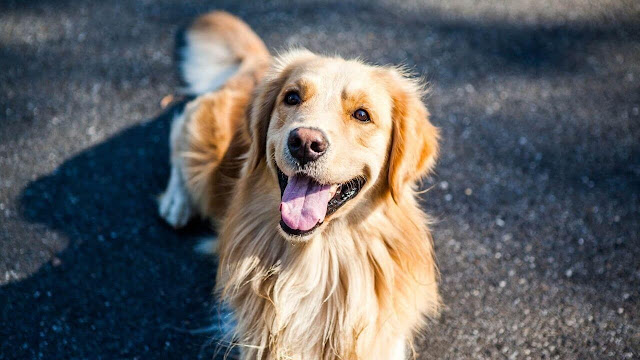 Things to take note when golden retriever go for hiking