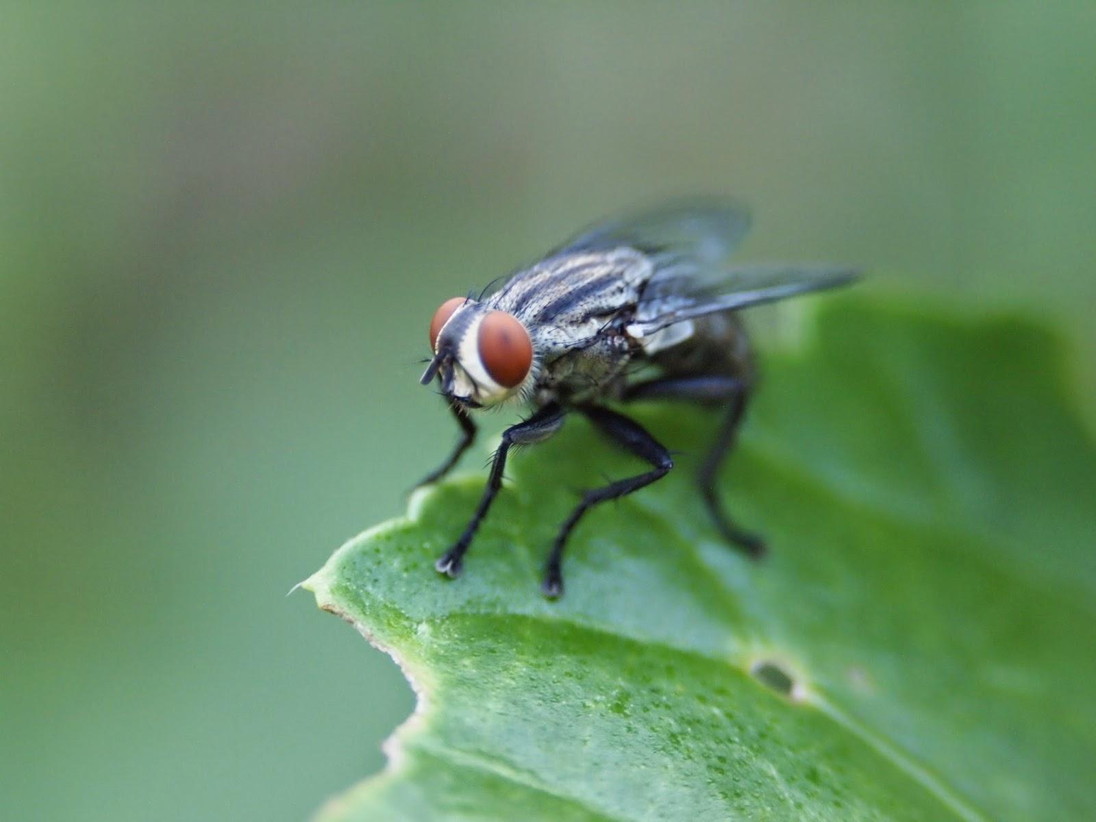 fakta lalat, lalat buah, lalat bangkai