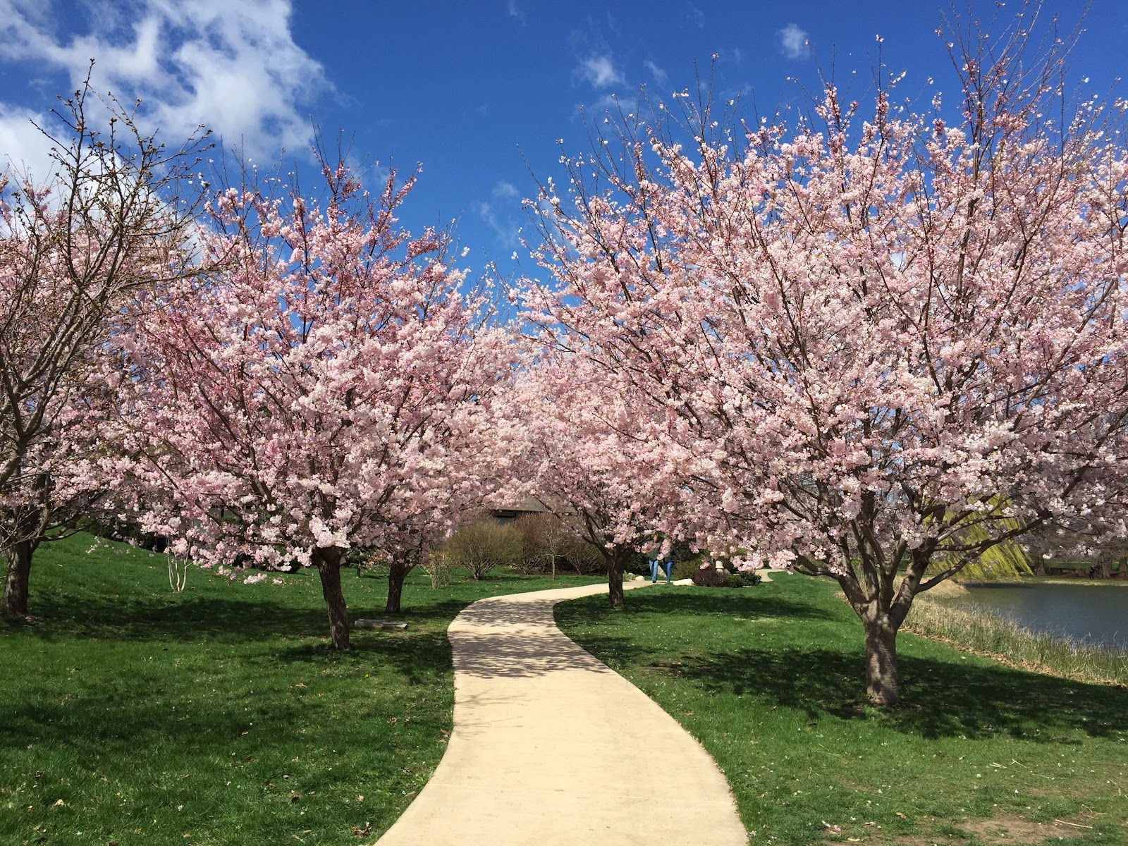 Durable Gardening Cherry Blossoms At The Japan House