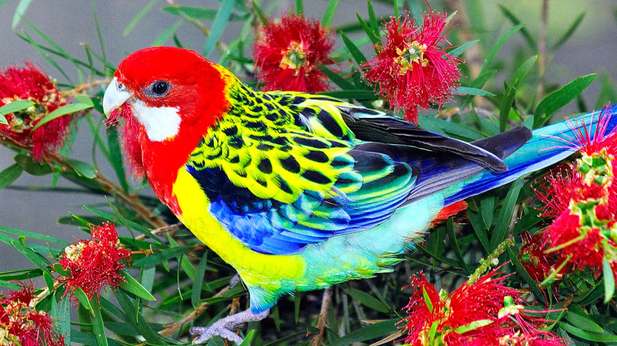 Beautiful Wallpapers for Desktop: Beautiful Birds HD ...