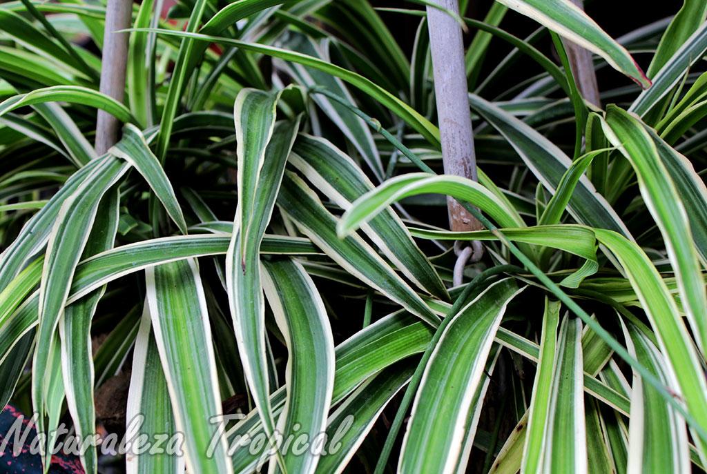 naturaleza tropical manual de cultivo de las cintas o