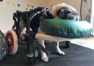 cães cadeirante dormindo