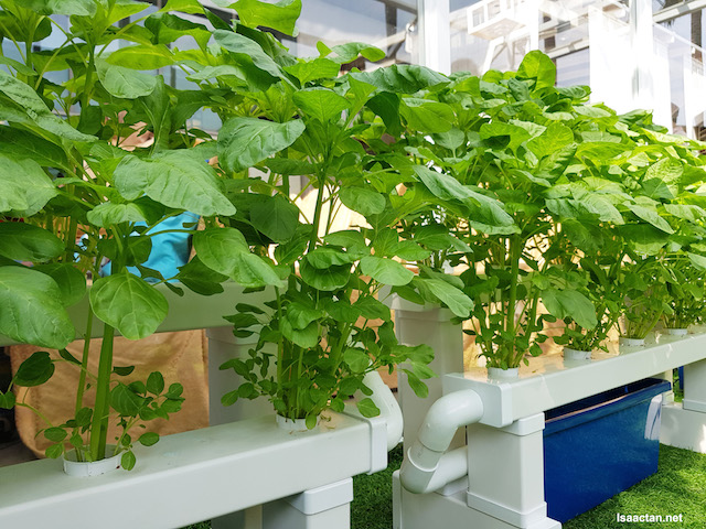 Vegetable which were grown using the Hydrophonic Method inside the Green House.