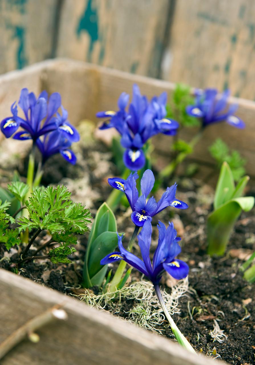 Flores de Iris azul y amarillo en caja de madera
