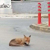 Κορωνοϊός: Μια αλεπού λιάζεται στους δρόμους της Αγίας Παρασκευής
