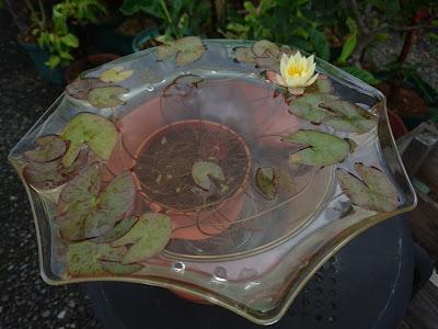 姫睡蓮 水鉢