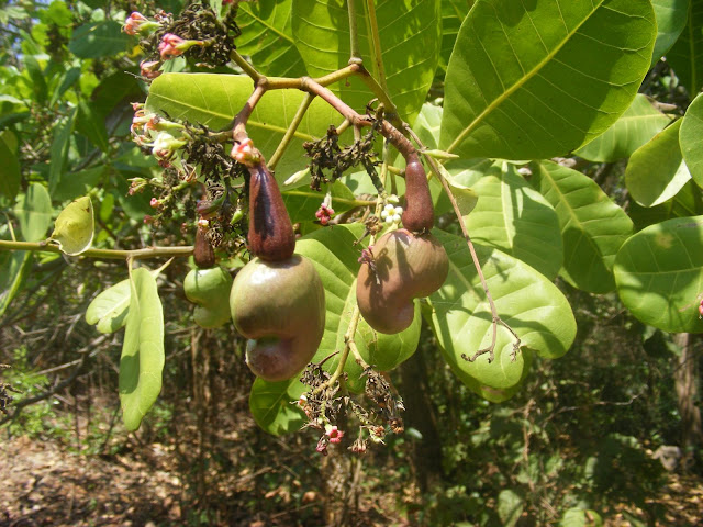 Frutticini Anacardium occidentale